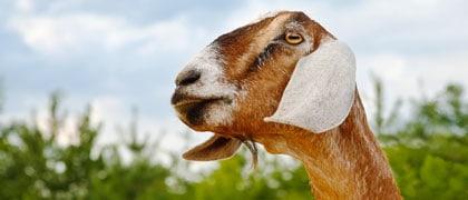 home species image link goat - Blue Seal