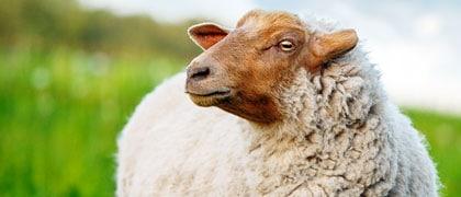 home species image link sheep - Blue Seal